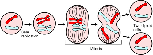 Quiz 12 the cell cycle and mitosis ccuart Choice Image