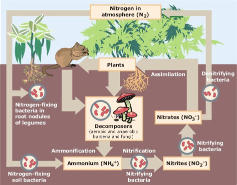 quiz   nutrient cycles and energy flowthis is a diagram of the nitrogen cycle