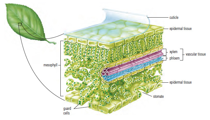 Leaf Cell Diagram http://www.sciencesource2.ca/resources/hotpotato_quiz_10_02_1.htm