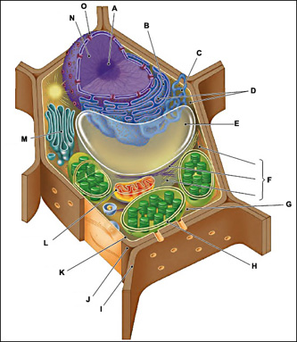 This is a diagram of a typical plant cell. Inside structure H there are